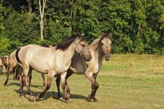 Hästar som går på betesmark Fotografering för Bildbyråer