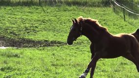 Hästar som galopperar i paddocken lager videofilmer