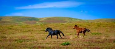 Hästar som galopperar på grässlätten royaltyfria foton