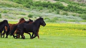 Hästar som kör i ängen