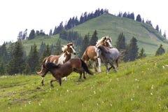 Hästar som kör i en cirkel Royaltyfria Bilder