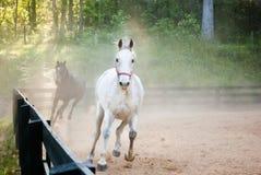 Hästar som kör till och med damm som ser kameran Arkivfoto
