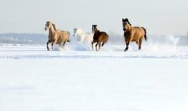 hästar som kör vinter Fotografering för Bildbyråer