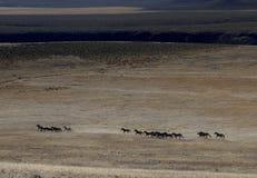 hästar som kör wild sagebrush royaltyfria bilder