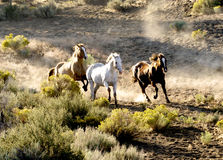 hästar som kör wild tre Fotografering för Bildbyråer
