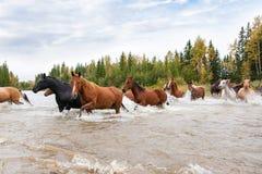 Hästar som korsar en flod i Alberta, Kanada Fotografering för Bildbyråer