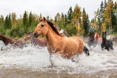 Hästar som korsar en flod i Alberta, Kanada Arkivfoto