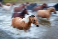 Hästar som korsar en flod i Alberta, Kanada Royaltyfri Foto