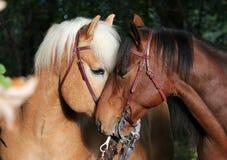 hästar som kysser två arkivfoto
