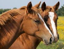 hästar som kysser två Royaltyfri Foto