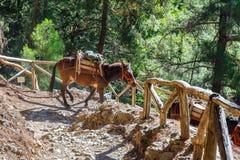 Hästar som ledas av en handbok, är van vid transport tröttade turister i Samaria Gorge Arkivfoton