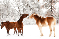 hästar som leker snow två Royaltyfria Bilder