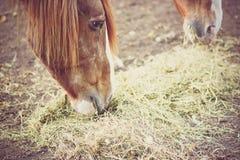 Hästar som matar på hö och sugrör på lantgården Arkivfoton