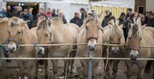 Hästar som ska säljs på en holländsk marknad Royaltyfri Fotografi