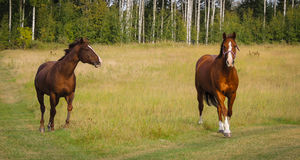 Hästar som spelar i ett fält arkivfoton