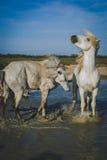Hästar som spelar i vattnet Fotografering för Bildbyråer