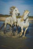 Hästar som spelar och plaskar Arkivbilder