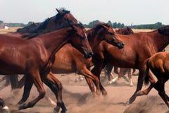 hästar som stampeding Arkivbilder
