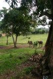 Hästar som tar en avbrottsKuba royaltyfri foto