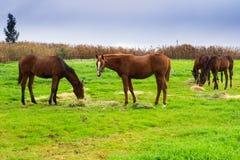 Hästar som tuggar hö på grönt fält Arkivfoton