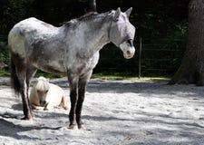 2 hästar som vilar i sol Arkivfoton
