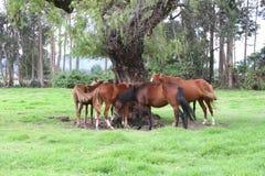 Hästar som vilar under ett stort träd Arkivbild