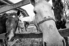 Hästar stänger sig upp Arkivfoton