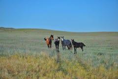 Hästar strövar omkring i stäppen Arkivbilder