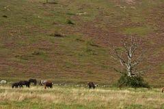 hästar sweden arkivbild