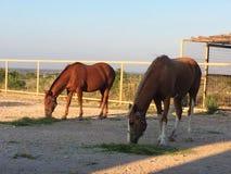 hästar två Arkivbild