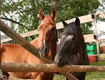 hästar två Royaltyfri Fotografi