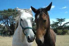 hästar två Arkivfoton