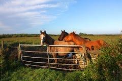 Hästar vid en port, Irland royaltyfri fotografi