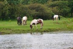 Hästar vid floden Arkivbilder