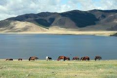 Hästar vid sjön Fotografering för Bildbyråer