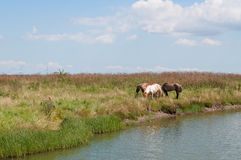 Hästar vid vattnet arkivfoton