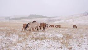 Hästarna betar på det snöig fältet och tjänstledigheterna snowing lager videofilmer