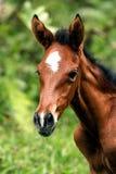 hästbarn Royaltyfria Foton