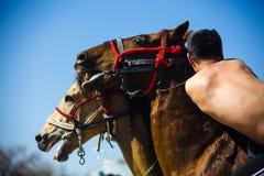 Hästbrottning Arkivbilder