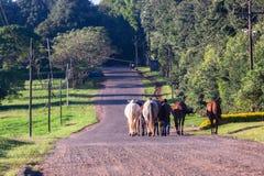 Hästbrudgummar som går bygdvägen Royaltyfria Foton