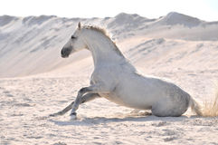 Hästdröm Arkivbild