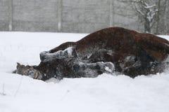 Hästdypölar i snön under ett snöfall arkivfoton