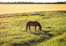 Hästen är betande Royaltyfri Foto