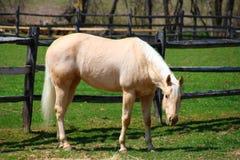 Hästen är betande Arkivbilder