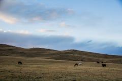 Hästen är betande i bergen Fotografering för Bildbyråer