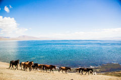 Hästen är betande längs sjön Royaltyfri Fotografi