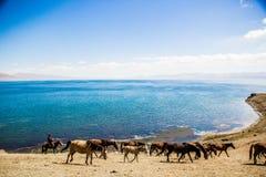 Hästen är betande längs sjön Arkivbild