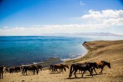 Hästen är betande längs sjön Royaltyfria Foton