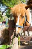 Hästen äter gräs royaltyfria foton