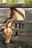Hästen äter gräs Royaltyfri Bild